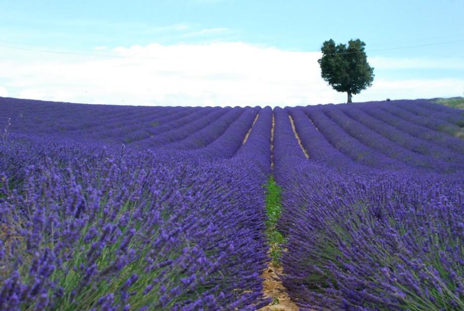 lavendar Provence France