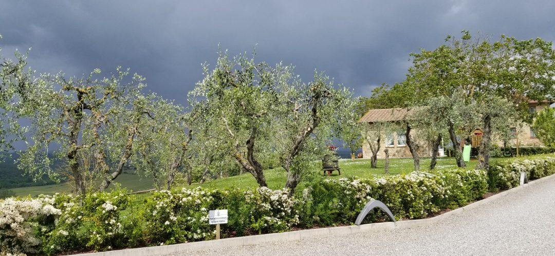 olive groves italy